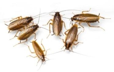 german Cockroach CONTROL