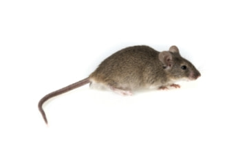 rodent control mice
