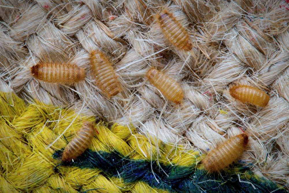 Carpet Beetle Larvae