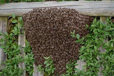 Bee Swarm On Bush
