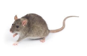 Roof RAT rodent control