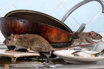 Rats on Kitchen Sink